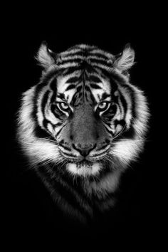 Black And White Lion, Animals Black And White, Black And White Canvas, Tiger Photography, Wildlife Photography, Digital Photography, White Photography, Tiger Pictures, Animal Pictures