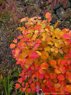 Fothergilla Mt. Airy   http://www.thegardenerseden.com/wp-content/uploads/2010/10/The-Witch-Mt-Airy-Fothergilla.jpg