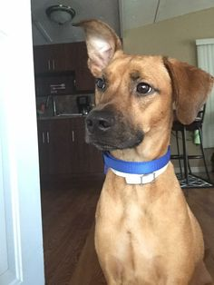 Helping Lost Pets   Dog - Manchester Terrier - Back Home