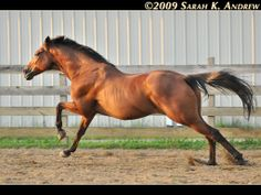 The gallop is a four-beat gait