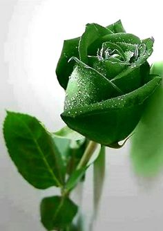 The Meaning and Top 19 Beautiful Green Roses - Gardening & Home Decor Lavender Roses, Pink Roses, Flowers Nature, Love Flowers, Beautiful Roses, Beautiful Gardens, Hollyhocks Flowers, Rose Flower Wallpaper, Unusual Flowers
