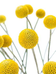 Craspedia – gelb Yellow Craspedia - also called Drumstick or Drumsticks - and more yellow flowers Bl Yellow Flowers, Spring Flowers, Australian Native Flowers, Diy Projects For Beginners, Real Plants, Decoration Table, Mellow Yellow, Ikebana, Garden Plants