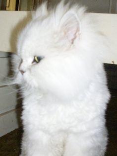 Snowball My boy, 1 year gone RIP