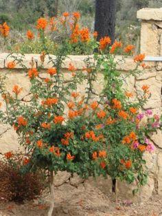Kap boru çiçeği, Tekomarya (Tecoma capensis) - Acem borusunun bir çeşididir... pencerenin altındaki sarılıcı çalı cap hanımeli de denir...