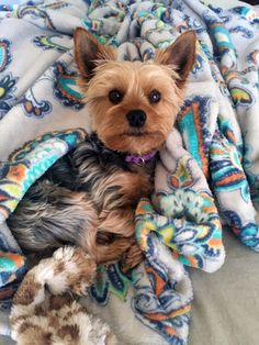 Karin's Velma ⋆ It's a Yorkie Life Yorkie Dogs, Chihuahua, Yorkies, Cute Baby Animals, Animals And Pets, Yorshire Terrier, Baby Snoopy, Cute Dog Photos, Yorkshire Terrier Puppies