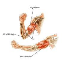 alkar izmai anatómia - Google-keresés Rooster, Google, Chicken
