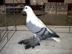 Reserve Grand Champion Fancy Pigeon: Fairy Swallow OC #211 owned by ...