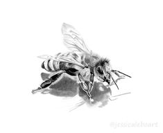 Graphite pencil bee drawing.