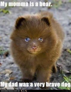 It's a pomsky (Pomeranian and husky mix) this one just happens to be brown and incredibly adorable