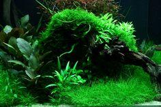 Layout 95 - Grégoire Wolinski - Tropica Aquarium Plants