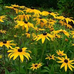 Black-Eyed Susan, Gloriosa Daisy or Yellow Oxeye Daisy is a cheerful, widespread prairie plant that belongs to the Asteraceae family. Colorful Flowers, Wild Flowers, Blooming Flowers, Small Flowers, Cut Flowers, Black Eyed Susan Flower, Susan Black, American Meadows, Wildflower Seeds