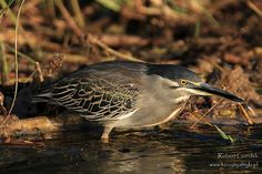 Czapla zielonawa - Green-backed Heron Botswana || www.szczytyafryki.pl || #Botswana #Ptaki #Afryka #Africanbirds