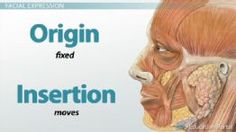 Muscle Origin and Insertion: Definition and Actions - Free Anatomy & Physiology Video
