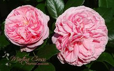 Rose Giardina