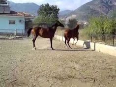 Crazy Horses playing - horses jumps with all fours, full length