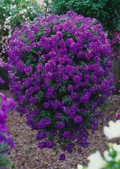 Verbena Hybrida (Verbenaceae) - Tapien® Violet - New Variety Balcony Plants, Outdoor Plants, Outdoor Gardens, Patio Plants, Container Flowers, Container Plants, Container Gardening, Summer Plants, Summer Garden
