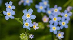 Vergissmeinnicht: Blume der Treue - Mein schöner Garten