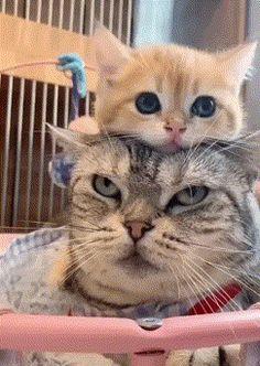innocent VS Angry cat #cat #angrycat #cutecat #cutekitten