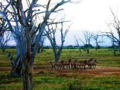 zebre - safari - Kenya