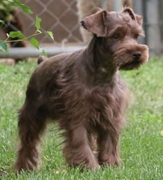 liver colored miniature schnauzer.  The husband and I are in love with schnauzers and our schnoodle.  He prefers this color and I have to say they are different