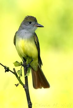 Great-crested Flycatcher (Myiarchus crinitus) is a large insect-eating bird of the tyrant flycatcher family. It is the most widespread member of the genus, Myiarchus, in North America and is found over most of the eastern and mid-western portions of the continent... by Kevin Hall