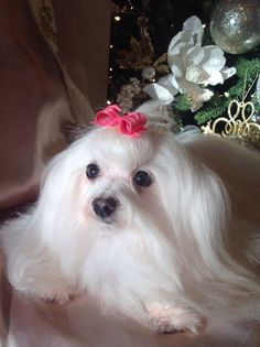 Mia Claire adopted through www.stfbr.org. #whitedog