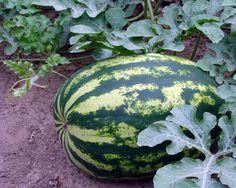 Uprawa arbuza Watermelon, Fruit, Interior Design, Nature, Flowers, Beautiful, Gardening, Bedroom, Kitchen