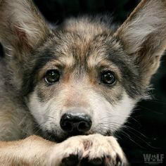 What a beautiful little Wolf pup face!! Look into those sweet eyes!