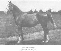 ROSE OF SHARON (Hadban (db) X Rodania (db)) 1885 chestnut mare