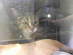 TO BE DESTROYED 5/31/14Manhattan CenterMy name is CLOUDY. My Animal ID # is A1001099.I am a female brn tabby and white domestic sh mix. The shelter thinks I am about 9 YEARS old.I came in the shelter as a OWNER SUR on 05/27/2014 from NY 10465,