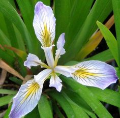 Douglas Iris flower - drought tolerant in shade