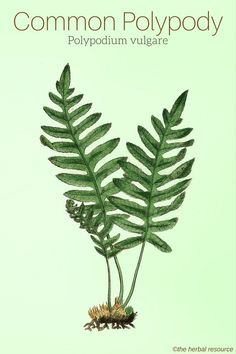 Common Polypody Polypodium vulgare