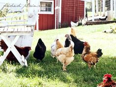 I WILL someday have a little hobby farm with chickens, goats, ducks, sheep, etc.