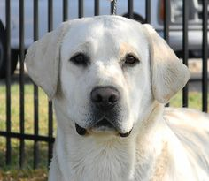 white lab | White-Lab-Stud-NOBLE