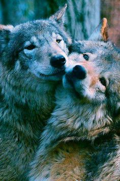 I love all animals, but wolves are wonderful! So sad that they are being hunted ruthlessly in America! God bless the animals of the world!