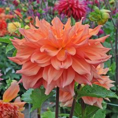 Dahlie 'Hart's Dr. McMurray' blüht in sanftem Apricot. Atemberaubend schön! Pflanzzeit ist im Frühling. Knollen gibt's bei www.fluwel.de