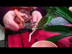 #orchids are beautiful but they have a reputation for being hard to take care of. This video shows you how easy it is to repot orchids to keep the beauty growing.