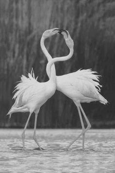 Flamingo pair, perhaps renewing their vows