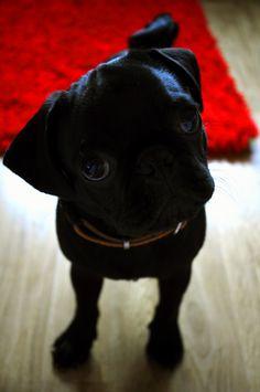 pug skype