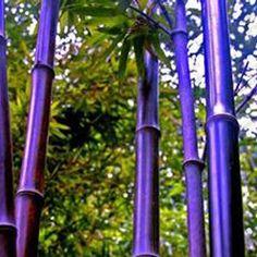 New Seeds Pieces/Lot Rare Purple Bamboo Seeds Decorative Garden Lucky Bamboo Garden Plants Seeds, Giant Bamboo, Bamboo Tree, Bamboo Plants, Outdoor Plants, Bamboo Fence, Backyard Fences, Garden Fencing, Gravel Garden, Fence Landscaping
