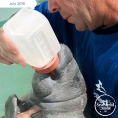 Orphaned baby manatees need a lot of tender loving care. SeaWorld's dedicated rescue team is there 24/7 to provide babies like this with all the care and nutrients they need. #365DaysOfRescue