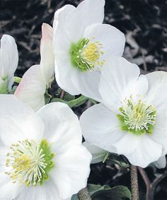 ~Helleborus niger 'White Magic' - good for shade