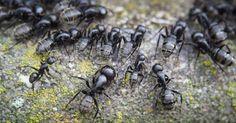Using CRISPR, ant colonies behavior might resemble human mental disorder.