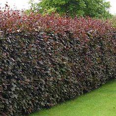 arbustes pour haies floraisons printani res amelanchier canada haies pinterest canada. Black Bedroom Furniture Sets. Home Design Ideas