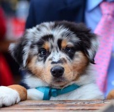 Some of the things I enjoy about the Intelligent Australian Shepherd Puppies Australian Shepherds, Aussie Shepherd, Australian Shepherd Puppies, Aussie Puppies, Shepherd Dog, Cute Puppies, Cute Dogs, Blue Merle Australian Shepherd, Dog Activities
