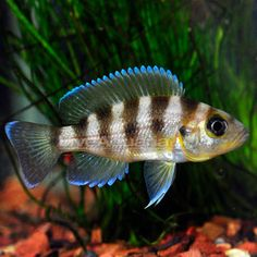 "Gold Sexfasciatus Cichlid QUICK STATS Minimum Tank Size: 50 gallons Care Level: Easy Temperament: Semi-aggressive Water Conditions: 72-82° F, KH 10-20, pH 7.8-9.0 Max. Size: 6"" Color Form: Blue, Yellow Diet: Carnivore Compatibility: View Chart Origin: Farm Raised Family: Cichlidae"