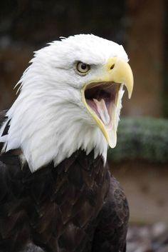 Bald eagle! Symbol of American Freedom!
