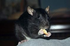 Rats rule: The maligned rodent can make a great pet