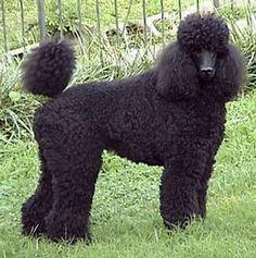 Standard Poodles - kinda cool too!!