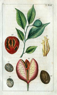 Wilhelm Natural History Botanical Prints 1810  Nutmeg